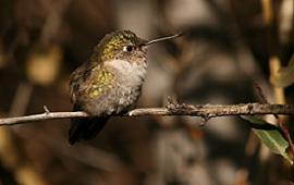 hummingbirdok